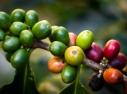 Pé de Café do Jardim Fazenda Harmonia