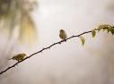 A natureza sempre presente ( Canário da Terra )